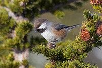 Close up of a Boreal Chickadee perched on a Hemlock bough, Chugach Mountains, Southcentral Alaska, Winter