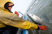 Commercial fisherman picks sockeye salmon off a set net in the Naknek River, Bristol Bay, Alaska, Summer