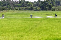 Farmer spraying pesticide on rice field
