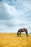 One brown horse feeding in the steppe. Horizontal photo with natural colors and light