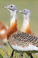 Males of great bustard Otis tarda, displaying  Cabeza del Buey, La Serena  Badajoz province Extremadura  Spain