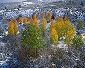 Autumn trees growing in snowy landscape