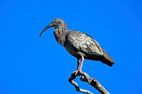 Plumbeous Ibis (Theristicus caerulescens), adult perched on a tree, Pantanal, Brazil, South America