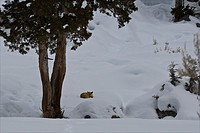 Yellowstone National Park, WY.A red fox sleeps in a land filled with snow.
