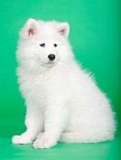 Samoyed dog in studio on a green background