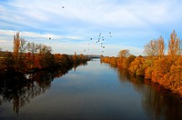 Autumn landscape on the Main River, flying pigeons, motion blur, Theres, Lower Franconia, Bavaria, Germany, Europe