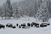 Yellowstone National Park, WY.As a snow stoem blows through a herd of bison lay down to wait it out.