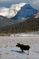 Yellowstone National Park, WY.A young bull moose stands still in a snow covered valley.