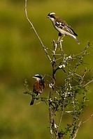 Kalahari Plains Camp, Central Kalahari Game Reserve, Botswana, Africa..A red_backed shrike and white_browed sparrow_weaver in a thorny tree.