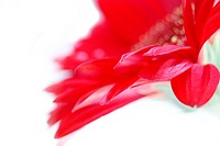 Close up of red gerbera daisy against white background