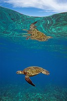 Above and below view of turtle.Green sea turtle swims at Makena, Maui, Hawaii.