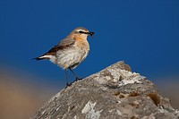 Wheatear (Oenanthe Oenanthe), female, Westfjords, Iceland, Europe