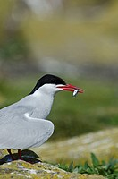Arctic Tern with fish.Arctic Tern Sterna paradisaea Farne Islands Northumberland UK