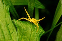 Goldenrod crab spider Misumena vatia on a leaf