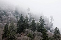 Frosty Trees, Newfound Gap Rd, Great Smoky Mtns NP.Frosty Trees, Morning on Newfound Gap Road, Great Smoky Mtns NP