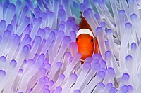 Western Clownfish (Amphiprion ocellaris) in Magnificent Sea Anemone (Heteractis magnifica), Great Barrier Reef, UNESCO World Heritage Site, Queensland...