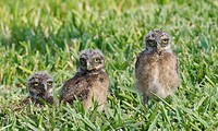 Burrowing Owl, Athene cunicularia, three baby owls in deep green grass