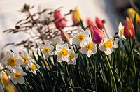 A Group of White Yellow Cupped Daffodils.White yellow cupped daffodils and pink tulips. Flower group. Spring garden