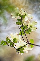 White Dogwood Flower Group.Blossoming Branch of White Dogwood, Flower Group. Cornus florida