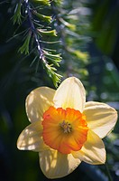 Single Yellow Daffodil Sunlit. Spring Garden.Tree branch touching a single yellow daffodil flower. Narcissus hybrid