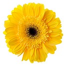 Yellow gerbera flower closeup. Isolated on white