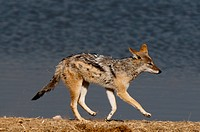 Black_backed jackal Canis mesomelas.Black_backed jackal Canis mesomelas, Etosha National Park, Namibia.