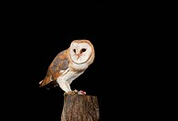 Barn Owl Tyto alba feeding on mouse on a fence post, Vulkaneifel district, Rhineland_Palatinate, Germany, Europe
