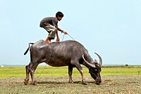 Boy riding a water buffalo or Asian buffalo standing, Cambodia, Southeast Asia, Asia