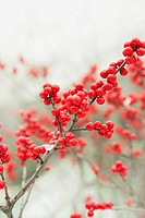 Winterberry trees.American Winterberry, Ilex verticillata
