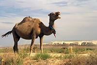 Dromedary or Arabian Camel (Camelus dromedarius) in the Ustyurt Plateau, Kazakh Desert, Kazakhstan, Central Asia
