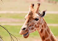 african giraffe in natural environment up close
