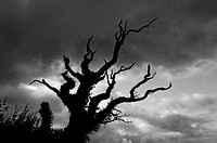 Dead tree covered in ivy silhouetted against a stormy sky, Milton Abbot, Devon, England, United Kingdom, Europe