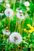 Group of dandelions selective focus on front plant