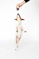 Jumping Jack Russel.