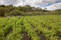 Tomato plantation, agriculture, Terabona, northeastern highlands, Nicaragua, Central America