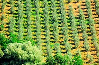 Natural Background Of Olive Groves In The Chianti Region