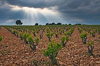 Beautiful light effect over a vinyard in the late afternoon. Provence, France