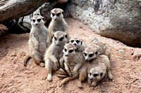 The family of meerkat from zoo in Thailand.