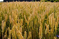 Ripe wheat ears in agricultural field beautifully lit by sun.