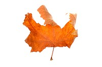 autumn maple_leaf, isolated on a white background.