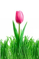 purple tulip and green grass isolated on white