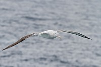 Adult wandering albatross Diomedea exulans on the wing in the Drake Passage between the tip of South America and the Antarctic Peninsula, Southern Oce...