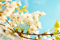White cherry flowers with blue sky background