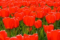 Field with lots of red tulips