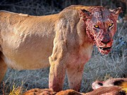 Portrait of a lion panthera leo with bloody face after a kill in Moremi National Park