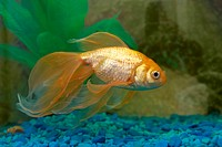 Tropical golden fish in aquarium.