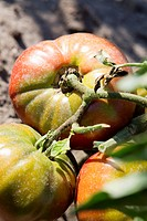 Tomatoes ripening on vine