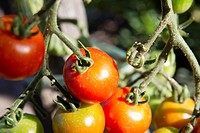 Tomatoes ripening on plant