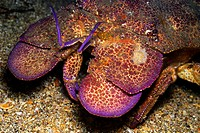 Slipper lobster on seabed night time, close_up.Slipper lobster Scyllarides astori on seabed night time, close_up, Galapagos Islands, Ecuador