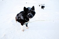 Gojahaven is a town in the far north of canada where 1000 IInuits are living Dogsledge is a traditional way of transport for the Inuits Howevere, it i...
